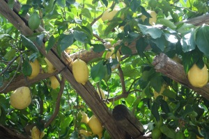 2015 September 14 - Amalfi lemons